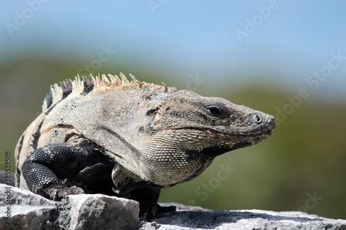 Photo Iguane