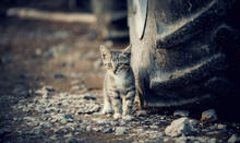 A Small Striped Stray Kitten N...