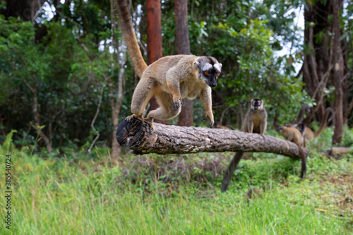 Fototapeta premium Brown lemurs play in the meadow and a tree trunk and are waiting for the visitors
