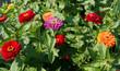 canvas print picture - (Zinnia elegans) Generous and colorful flowering of elegant zinnia flowers