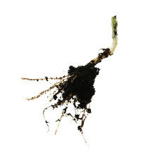 Closeup Of Green Bean Plant Root On White