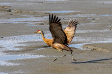 Sandhill Crane With Outstretched Open Wings Taking Off From Beach Near Turn Again Arm, Anchorage, Alaska
