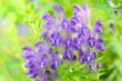 紫色の花コガネバナ