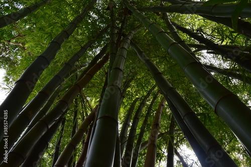 Ancestral bosque de bambu verde