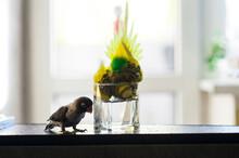 Parrots Swim In The Water. Parrots Bathe In A Glass Of Water. Two Parrots Bathe And Drink Water