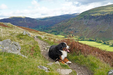 Bernese Mountain Dog Resting On The Path In The Mountains, Lake District