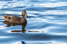 Brown Duck Is Swimming On The ...