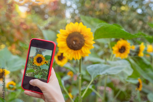 Obraz Female hand with mobile phone, making photo of bright sunflower blooming in the field on smartphone, selective focus. Modern technology. - fototapety do salonu