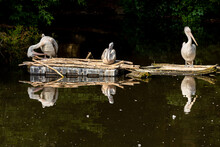 Three Pelicans Rest During The Day On The Pond
