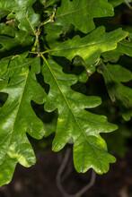Leaves Of Crimson Spire Oak (Q...