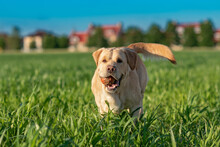 A Fawn Labrador Is Running Across A Green Field With A Ball.