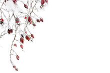 Branches With Red Fruits Dog Rose, Briar ( Rosa Rubiginosa, Rose Hips ) In Of Hoarfrost And In Snow On A White Background With Space For Text