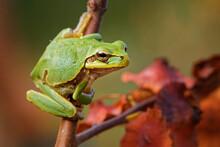 Eastern-European Treefrog - Hy...