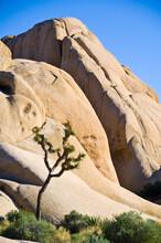 A Joshua Tree And Rocks In Joshua Tree National Park, California.