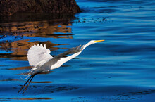 White Egret Taking Flight From...