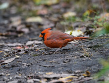 Northern Cardinal Foraging On The Ground In Fall