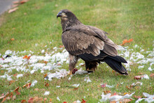 Immature Bald Eagle Eating A Seagull On Green Grass