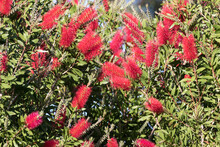 Bottlebrush Tree With Numerous Red Flowers