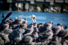 A Pelican In A Crowd Of Seagulls