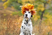 Head Portrait Of Dalmatian Dog...