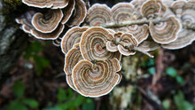 Turkey Tail Mushrooms ( Tramet...