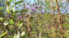 Purple Autumn Wild Flowers Blowing In The Wind. Northeast