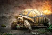 Giant Turtle Are Walking Slowly In The Zoo.