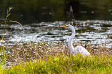 Great Egret In Tall Grass Looking Left With Curved Neck