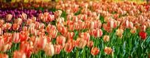 Pink Red Orange Tulip Spring F...