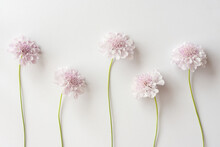 Group Of Light Pink Scabiosa Flowers On A White Background. Beautiful Floral Background, Flat Lay