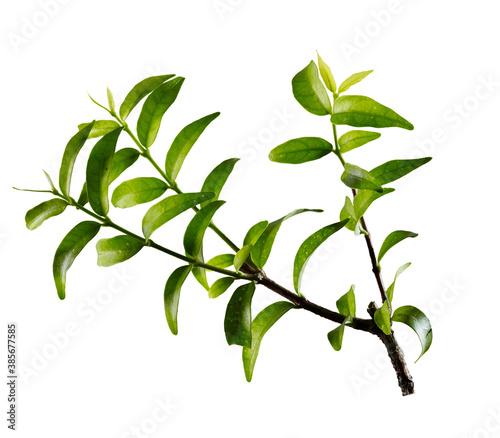 Fototapety, obrazy: tree branch on white background