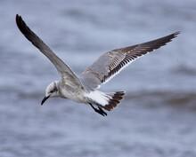 Laughing Gull (Larus Atricilla...