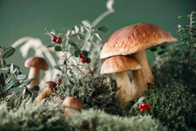 Brown Boletus Edulis Mushroom Growing In Autumn Green Moss With Red Lingonberry, Green Grass. Autumn Harvest Concept. Porcini, Cep Mushrooms. Copy Space. Organic Forest Food