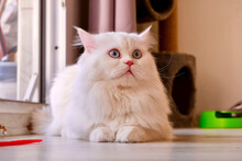 Persian Doll Face Chinchilla White Cat. Fluffy Cute Pet Animal With Blue Eyes