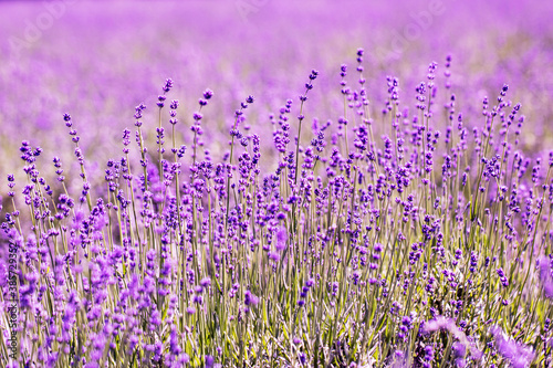 Fototapety, obrazy: Lavender flower close up in a field in Korea