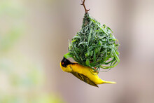 Masked Weaver Building A Nest  In Kruger National Park In South Africa