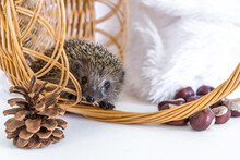 Funny Hedgehog Sitting To A Wicker Basket And Smiling Cheerfully On A White Background. Postcard With An Animal. Autumn Composition With Chestnuts And Checkers. Space For Text. Copy Space
