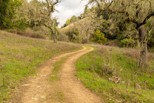 Spanish Moss Covered Oak Trees...