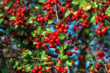 Hawthorn Berries On The Tree