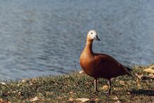 Ruddy Shelduck Duck Or Tadorna...