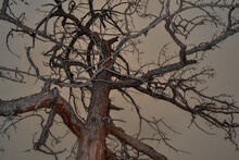 Dry Dead Bare Tree With Twisted Crooked  Branches Stand After Fire. Bottom View. Baikal Lake Nature. Red Brown Bark
