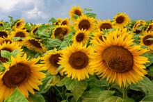 Beautiful Yellow Sunflowers In...