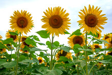 Low Angle View Of Sunflowers I...