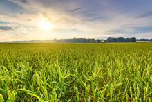 Green Wheat Field At Summer Su...