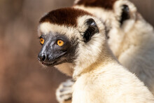 Close Up Of Verreaux's Sifaka In Kirindy Mitea National Park