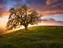 View Of Oak Tree On Hill Against Cloudy Sky During Sunset
