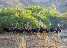 Group Of Ostrich In Skeleton Coast National Park