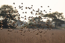 Flock Of Red Billed Quelea Fly...