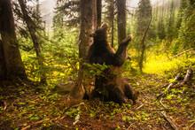 American Black Bear Scent Mark...