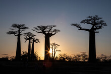 Scenic View Of Baobab Trees Du...